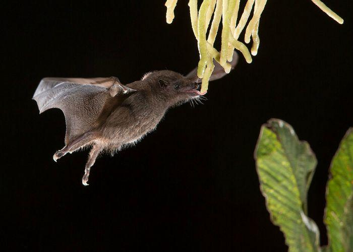 anoura-geoffreys-tailless-bat